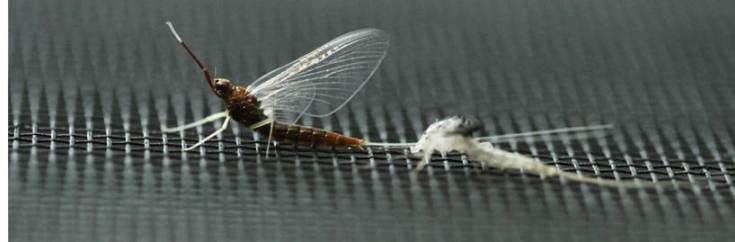 mayfly-horizontal-bright